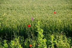 Rote Mohnblumen unter einem Weizenfeld Stockfoto