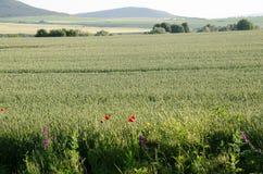 Rote Mohnblumen unter einem Weizenfeld Stockbilder