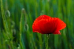 Rote Mohnblumen vor dem hintergrund des jungen Weizens Stockfoto