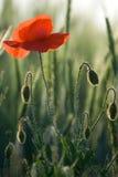 Rote Mohnblumenahaufnahme in die Getreide Stockbilder