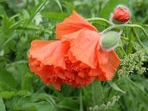 Rote Mohnblumenblüte Lizenzfreie Stockfotos
