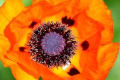Rote Mohnblumenblume Stockbilder