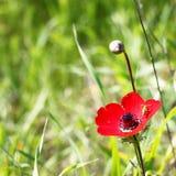 Rote Mohnblumenblume Lizenzfreie Stockfotos