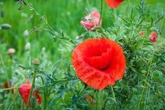 Rote Mohnblumenblume Stockfotografie
