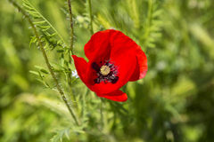 Rote Mohnblumenblume Lizenzfreie Stockbilder