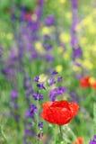 Rote Mohnblumenblume Stockbild