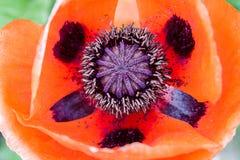 Rote Mohnblumenblume Lizenzfreies Stockbild