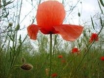 Rote Mohnblumenblume Lizenzfreie Stockfotografie