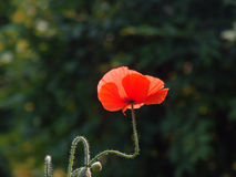 Rote Mohnblumenblume Stockfoto