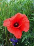 Rote Mohnblumenblume Stockfotos