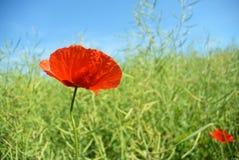 Rote Mohnblumenblume auf einem Gebiet des grünen Weizens Stockbilder