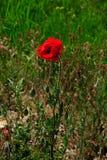 Rote Mohnblumenblume auf einer Lichtung Stockfotografie