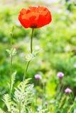 Rote Mohnblumenblume auf grünem Feld Stockfotografie