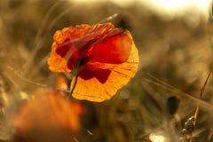 Rote Mohnblumenblume in ein Weizenfeld bei Sonnenuntergang Frühling speak stockbilder