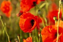 Rote Mohnblumenblume in ein Weizenfeld bei Sonnenuntergang Frühling speak lizenzfreie stockfotografie