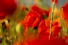 Rote Mohnblumenblume in ein Weizenfeld bei Sonnenuntergang Frühling speak lizenzfreie stockbilder