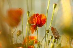 Rote Mohnblumenblume in ein Weizenfeld bei Sonnenuntergang Frühling speak stockfoto