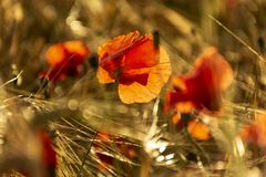Rote Mohnblumenblume in ein Weizenfeld bei Sonnenuntergang Frühling speak lizenzfreies stockfoto