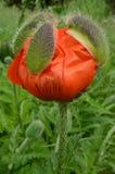 Rote Mohnblumenblume mit Überresten spikey äußerer Knospe Lizenzfreie Stockfotografie