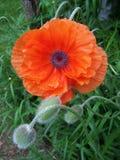 Rote Mohnblumenblume und -knospen Lizenzfreie Stockfotos