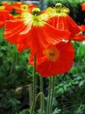 Rote Mohnblumenblumen Lizenzfreie Stockfotografie