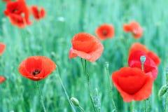 Rote Mohnblumenblumen-Wiesenfrühlings-saison Stockfotografie