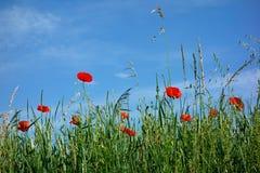 Rote Mohnblumenernte Lizenzfreie Stockbilder