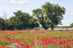 Rote Mohnblumenfelder Stockfoto