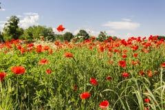 Rote Mohnblumenfelder Lizenzfreies Stockfoto