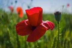 Rote Mohnblumennahaufnahme gegen ein Weizenfeld lizenzfreie stockfotos
