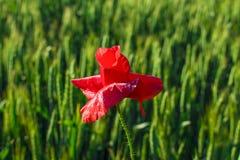 Rote Mohnblumennahaufnahme gegen ein Weizenfeld stockbilder