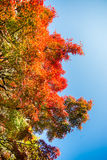 Rote momiji Blätter Stockbild