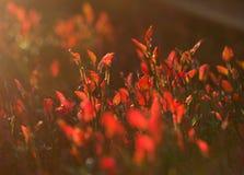 Rote Moosbeerblätter stockfoto