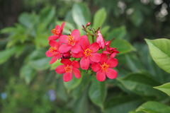 Rote Nadelblume Stockfoto
