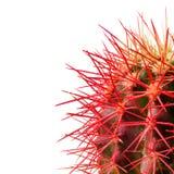 Rote Nadeln des grünen Kaktus auf weißem Hintergrund Stockbilder