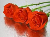 Rote nasse Rosen mit Wassertropfen Stockfotos