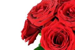 Rote nasse Rosenblumen lokalisiert auf weißem Hintergrund Lizenzfreies Stockbild