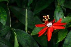 Rote Neigungs-Blume stockfotos