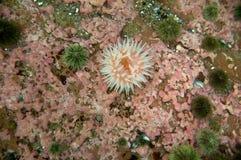 Rote Nordanemone (Urticina felina) Lizenzfreie Stockfotografie
