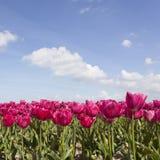 Rote oder rosa Tulpen auf dem Blumengebiet mit blauem Himmel und Wolken Stockfoto