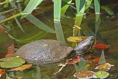 Rote ohrige Schieberschildkröte Stockbild