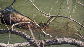 Rote ohrige Schieberschildkröte, die auf einem LOGON das düstere Wasser von einem Fluss klettert stockfotos