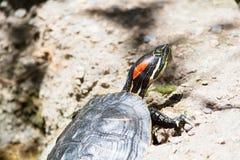 Rote ohrige Schieberschildkröte; Trachemys-scripta elegans, Teichschildkröte Stockbild