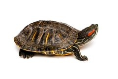 Rote ohrige Schildkröte Stockbild