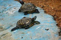 Rote ohrige Schildkröte Lizenzfreies Stockfoto