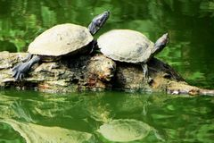 Rote ohrige Schweberschildkröte Stockfotos