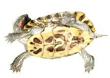 Rote Ohrschildkröte Stockbild