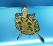 Rote Ohrschildkröte Stockfotos