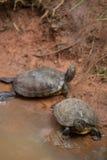 Rote Ohrschildkröte Stockbilder