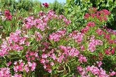 Rote Oleanderblumen Stockbilder